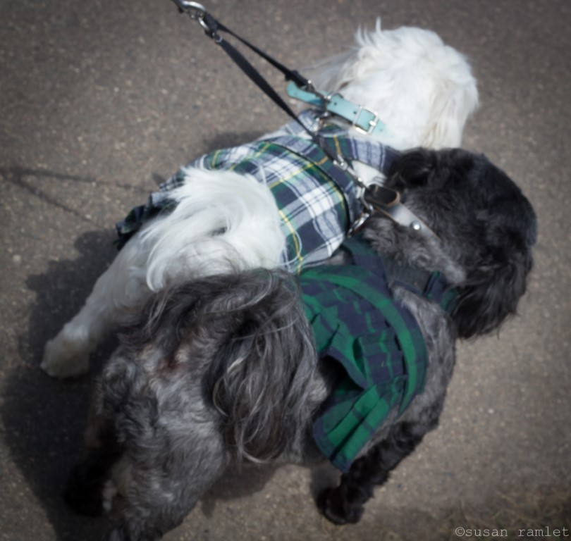 Two small dogs wearing their Scottish tartans